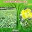 โนมิน่า สารอินทรีย์กำจัดวัชพืชในนาข้าว thumbnail 5